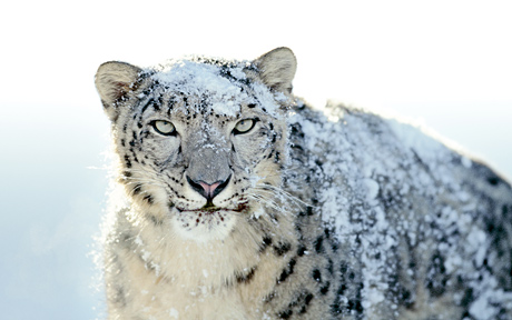 Snow Leopard desktop picture