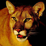 puma closeup